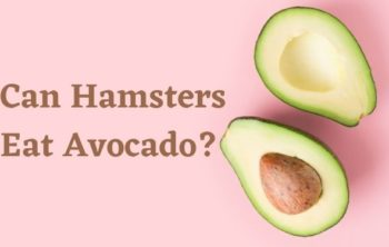 Can Hamsters Eat Avocado_