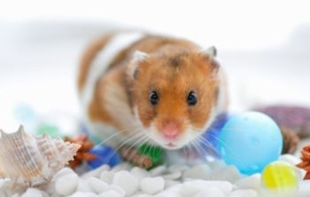 can hamsters live together