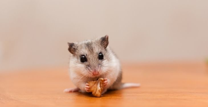 chinese hamster
