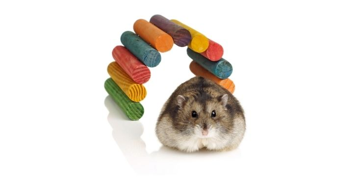 roborovski dwarf hamsters
